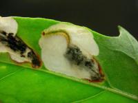 Chrysoesthia sexguttella - Zesvlekmot