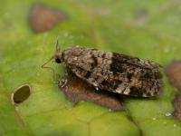 Dichelia histrionana - Splintervlekroller