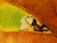 Ectoedemia albifasciella - Wavreille ~ Ry d'Hôwisse (Namen) 23-09-2017 ©Steve Wullaert
