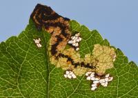 Ectoedemia atricollis - Arlon ~ Domaine Privé (Luxemburg) 11-09-2021 ©Steve Wullaert