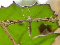 Platyptilia gonodactyla - Hoefbladvedermot