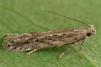 Scrobipalpa samadensis - Schorszandvleugeltje