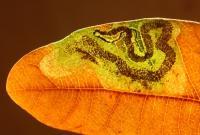Stigmella ruficapitella - Variabele eikenmineermot