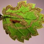 Stigmella lemniscella - Iepenbladrandmineermot