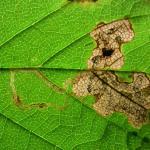 Stigmella speciosa Bruine esdoornmineermot