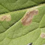 Coleophora conyzae - Heelblaadjeskokermot