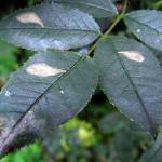 Coptotriche angusticollella - Rozenvlekmot