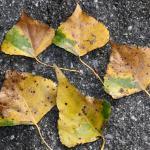 Ectoedemia hannoverella - Populierenbladsteelmineermot