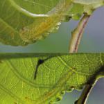 Phyllocnistis unipunctella - Eenstipslakkenspoormot