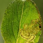 Stigmella catharticella - Wegedoornmineermot