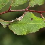 Parornix torquillella - Fraaie zebramot