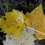 Ectoedemia turbidella - Abelenbladsteelmineermot