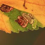 Stigmella viscerella - Zuidelijke iepenmineermot