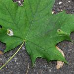Phyllonorycter joannisi - Noorse-esdoornvouwmot