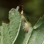 Phyllonorycter oxyacanthae - Meidoornvouwmot