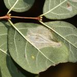 Phyllonorycter emberizaepenella - Kamperfoelievouwmot