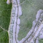 Phyllocnistis xenia - Printplaatmot