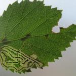 Stigmella lapponica - Vroege berkenmineermot