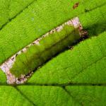 Phyllonorycter nicellii - Hazelaarvouwmot