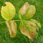 Coptotriche angusticolella - Rozenvlekmot
