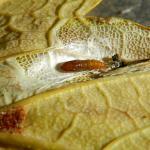 Phyllonorycter geniculella - Gewone esdoornvouwmot