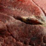 Phyllonorycter cerasicolella - Kersenvouwmot