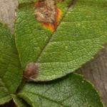 Stigmella centifoliella Gelijnde rozenmineermot