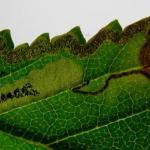 Stigmella lemniscella Iepenbladrandmineermot