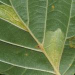 Phyllonorycter rajella - Gewone elzenvouwmot