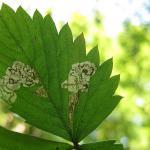 Ectoedemia arcuatella - Aardbeiblaasmijnmot