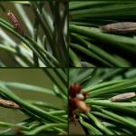 Coleophora laricella - Larikskokermot