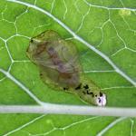 Mompha langiella - Zwarte heksenkruidmot
