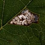Caloptilia fidella - Hopsteltmot
