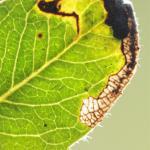 Stigmella zelleriella - Snellens` mineermot