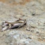 Actinotia polyodon - Trooz ~ La Rochette (Luik) - 15-08-2020 ©Gunther Groenez
