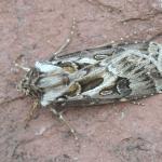 Agrotis vestigialis - Arlon ~ Domaine Privé (Luxemburg) 11-09-2021 ©Steve Wullaert