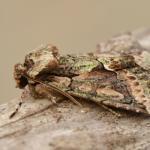 Allophyes oxyacanthae - Marche-en-Famenne ~ Propriété privé (Namen) - 20-09-2020 ©Steve Wullaert