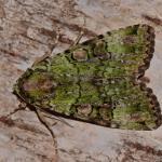 Anaplectoides prasina - Arlon ~ Domaine Privé (Luxemburg)  (17-06-2017) ©Steve Wullaert