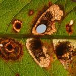 Antispilina ludwigi - Adderwortelgaatjesmaker