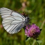 Aporia crataegi - Arlon ~ Domaine Privé - Luxemburg 03-06-2018 ©Steve Wullaert