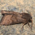 Aporophyla lutulenta - Latour ~ Près de Latour -Luxemburg 14-09-2019 ©Steve Wullaert