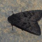 Aporophyla nigra - Lommel ~ Balimheide (Limburg) 21-09-2019 ©Steve Wullaert