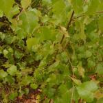 Apterona helicoidella - Slakkenhuisdrager