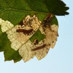 Atemelia torquatella - Marche-en-Famenne ~ Les Brulés (Namen) - 20-09-2020 ©Steve Wullaert