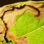 Bedeliidae Venstermineermotten
