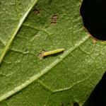 Bucculatrix ainsliella - Amerikaanse ooglapmot