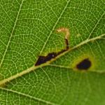 Bucculatrix demaryella - Berkenooglapmot
