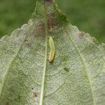 Bucculatrix frangutella - Vuilboomooglapmot