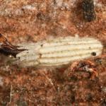Bucculatrix thoracella - Lindeooglapmot