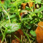 Coleophora albitarsella - Zwarte weidekokermot